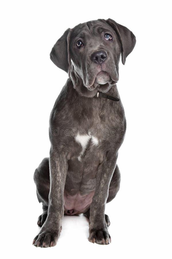 Stock Corso oder italienischer Mastiff stockfotografie