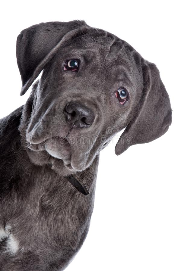 Stock Corso oder italienischer Mastiff stockbilder