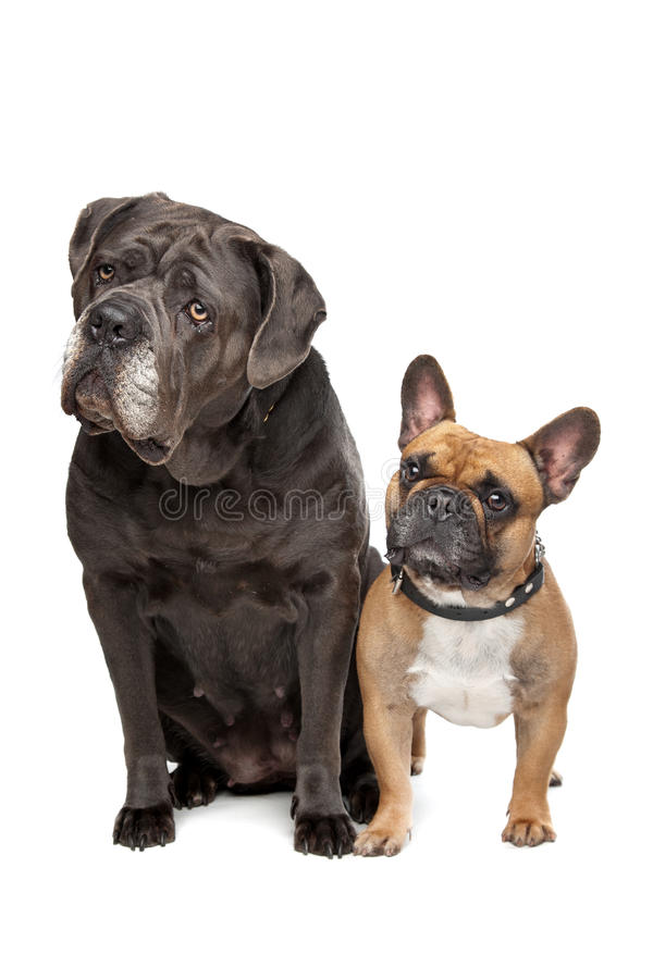 Stock Corso und französische Bulldogge stockbilder