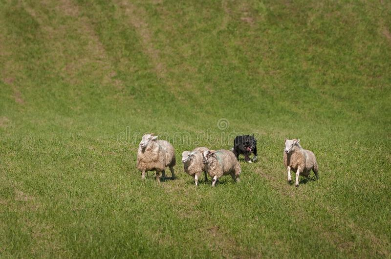 Stock Dog Behind Group of Sheep Ovis aries. At sheep dog herding trials royalty free stock photo