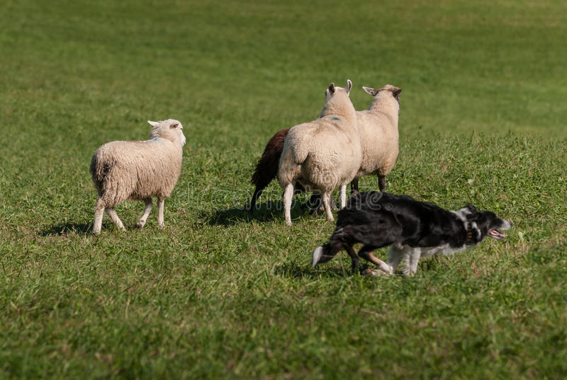 Stock Dog Cuts Right Around Group of Sheep Ovis aries. At sheep herding trials royalty free stock image