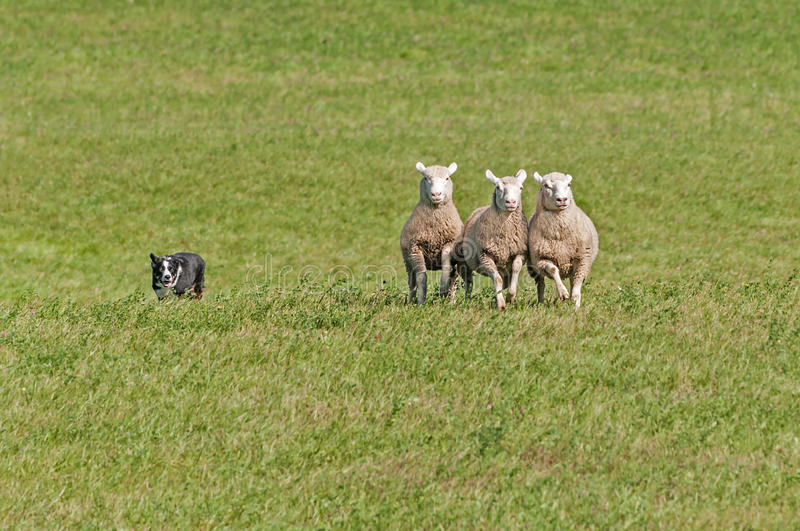 Stock Dog Herds in Sheep (Ovis aries). In green pasture royalty free stock photos
