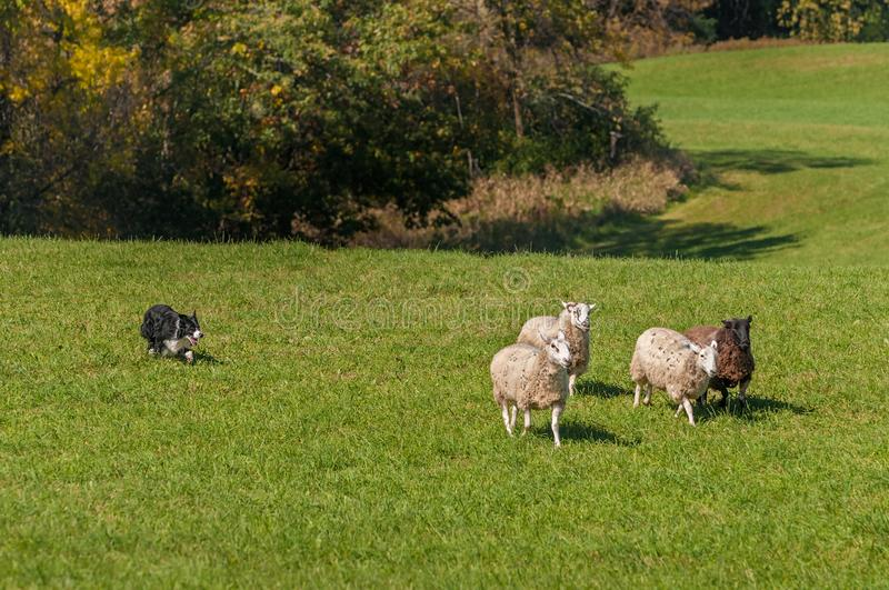 Stock Dog Moves Group of Sheep Ovis aries Away From Woods. At sheep dog herding trials royalty free stock photography