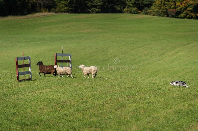 Stock Dog Moves Sheep Ovis aries Through Gates. At sheep dog herding trials royalty free stock image