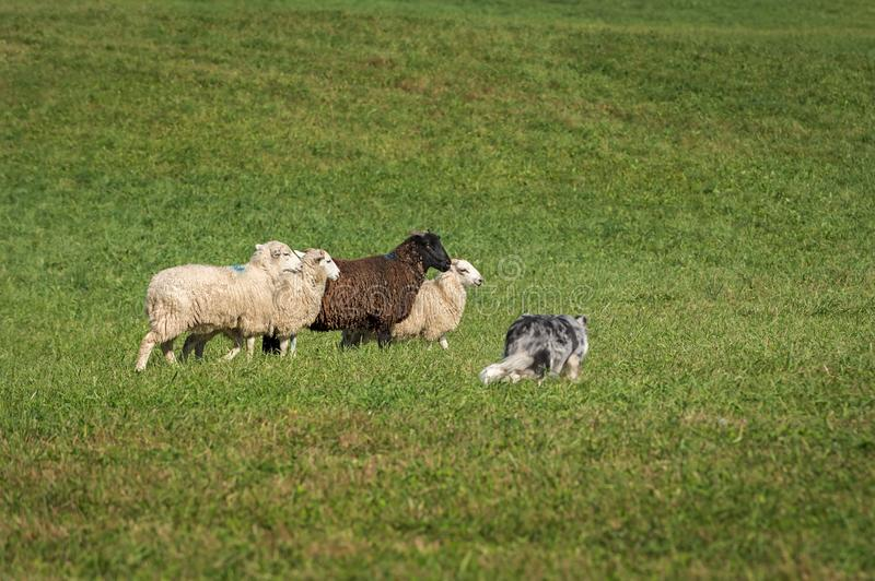 Stock Dog Near Group of Sheep Ovis aries. At sheep dog herding trials royalty free stock photo