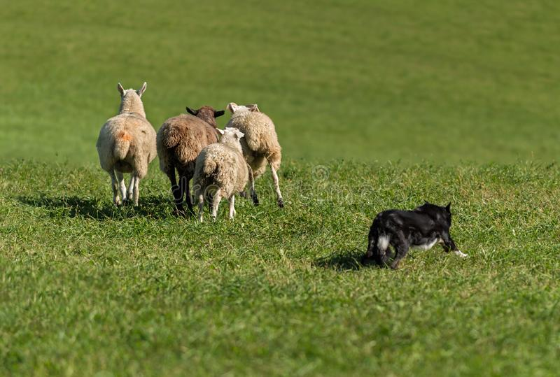 Stock Dog Runs Out Group of Sheep Ovis aries. At sheep dog herding trials stock photos