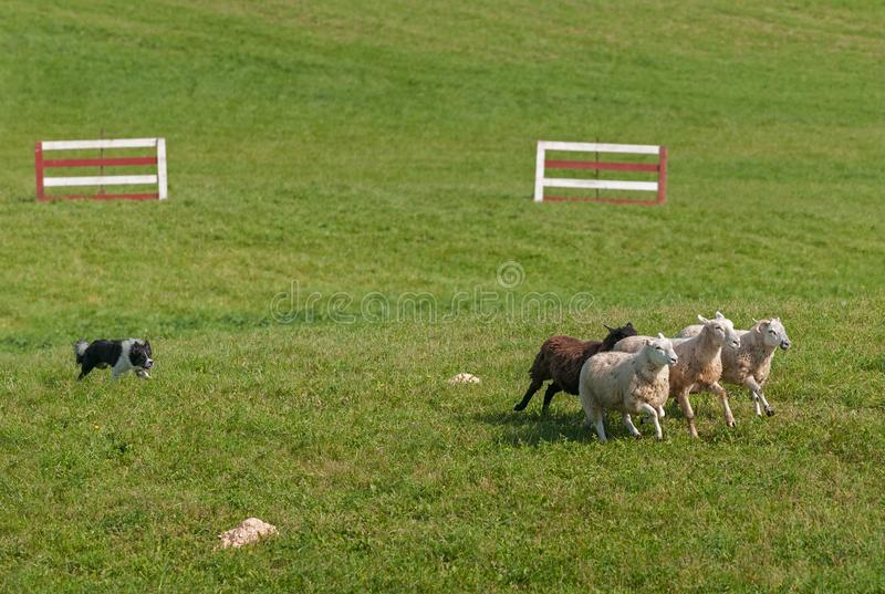 Stock Dog Runs Sheep Ovis aries into Circle. At sheep dog herding trials stock photos