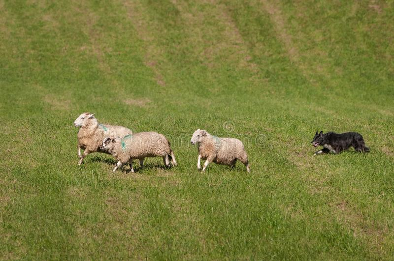 Stock Dog Runs Sheep Ovis aries Right on Course. At sheep dog herding trials stock images