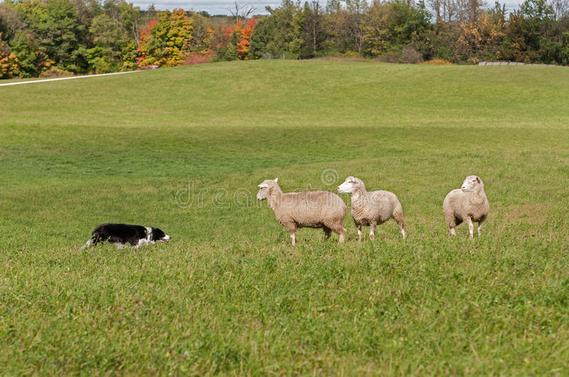 Stock Dog and Sheep (Ovis aries) Standoff. In autumn pasture royalty free stock photography
