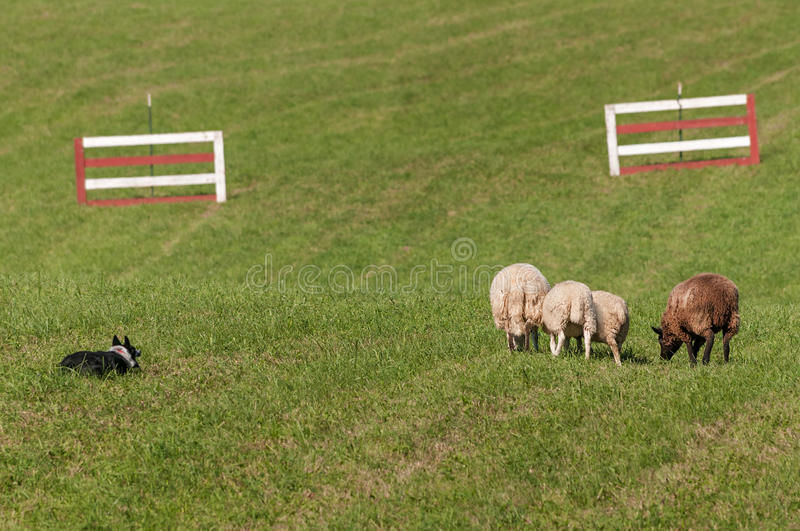 Stock Dog Watches Group of Sheep Ovis aries. At sheep dog herding trials stock photo