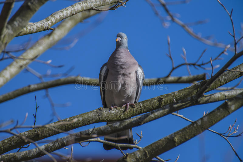 Stock Dove sitting on a branch. The Stock Dove (Columba oenas) is a species of bird in the family Columbidae, doves and pigeons. Photo is shot in a forest called royalty free stock photos
