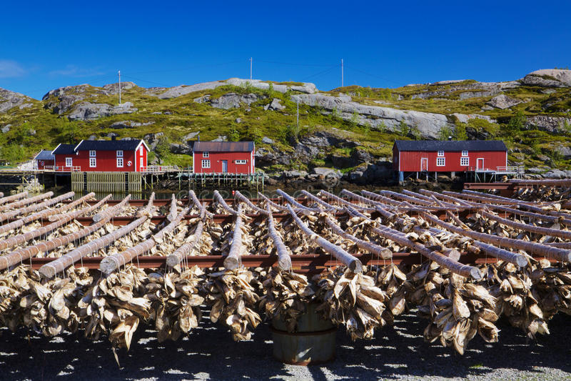 Stock fish on Lofoten royalty free stock images