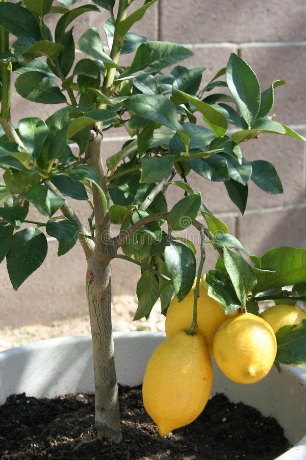 Stock image of home grown Lemon tree. Home grown lemon tree in pot with fresh ready to harvest lemons royalty free stock image