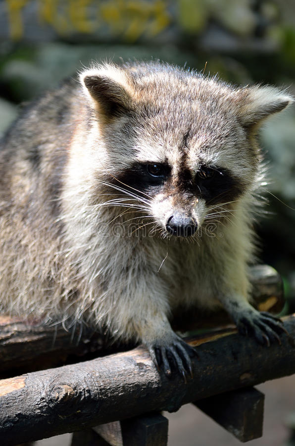Stock image of a Racoon (Procyon Iotor).  royalty free stock photo