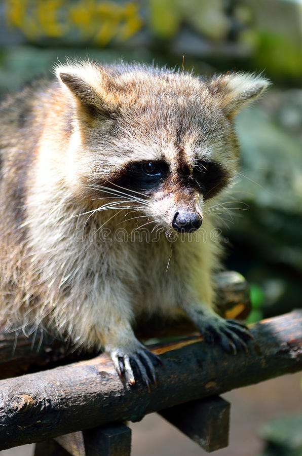 Stock image of a Racoon (Procyon Iotor).  royalty free stock images