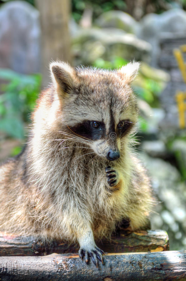 Stock image of Racoon (Procyon Iotor).  royalty free stock images