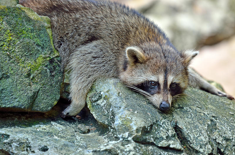 Stock image of Racoon (Procyon Iotor).  stock images