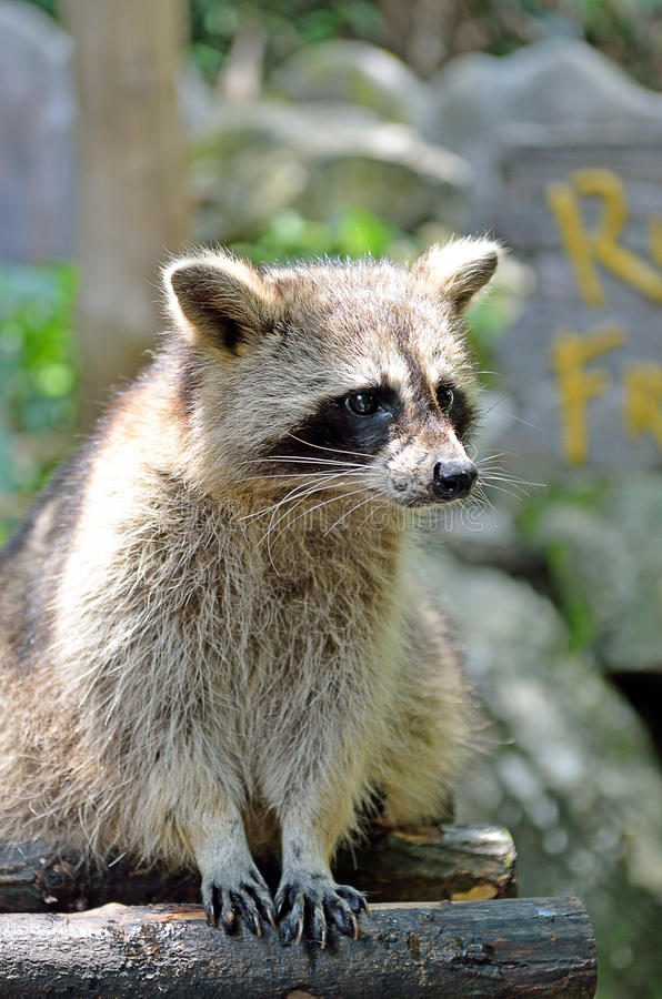 Stock image of Racoon (Procyon Iotor).  royalty free stock photo