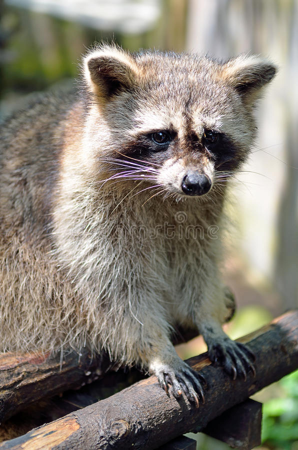 Stock image of a Racoon (Procyon Iotor).  stock photography