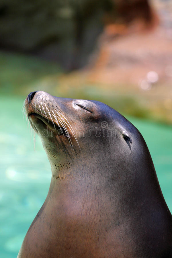 Stock image of seal. Stock image of a seal royalty free stock photos
