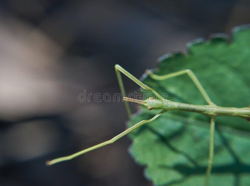 Stock Insect( Phasmatodea) auf Blatt - heraus erreichend lizenzfreies stockbild