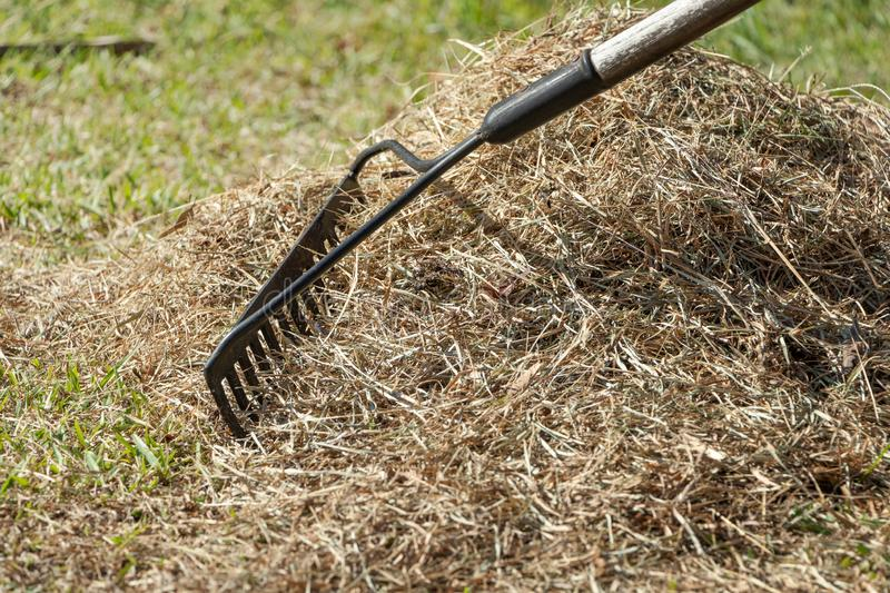 stock photo cleaning up the grass with a rake aerating and scarifying the lawn in the garden 1 stock photography