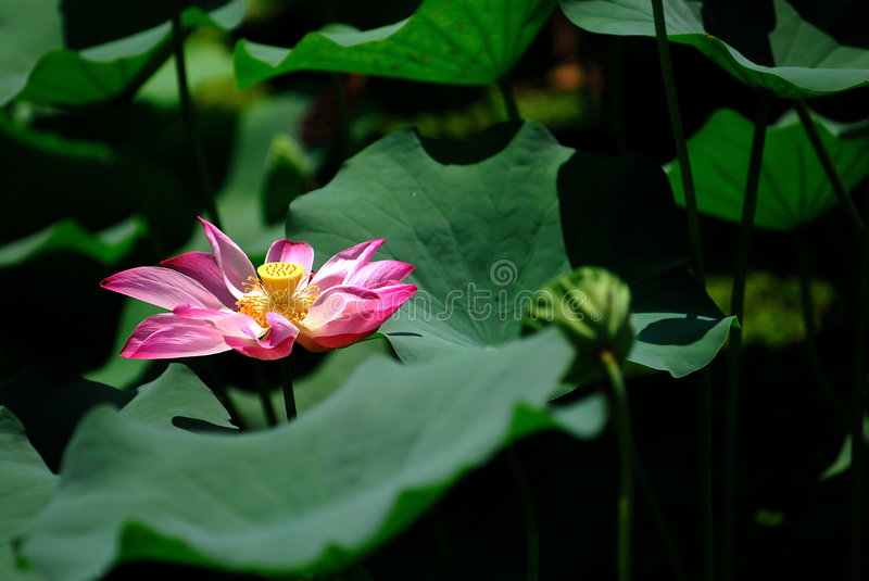 Stock photo of colorful water lily royalty free stock photo