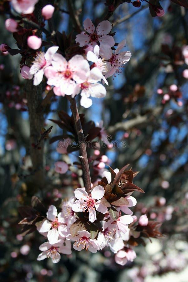 Free Stock Photo Of Japanese Cherry Royalty Free Stock Photos - 2206528