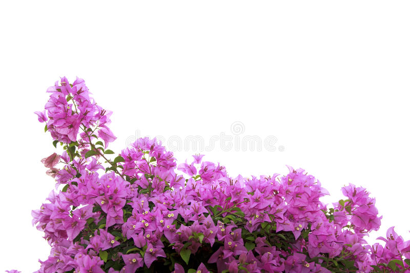 Stock Photo:Pink Bougainvillea flower isolated on white backgro. Brsnch of bougainvillea flowers isolated on white background stock photo