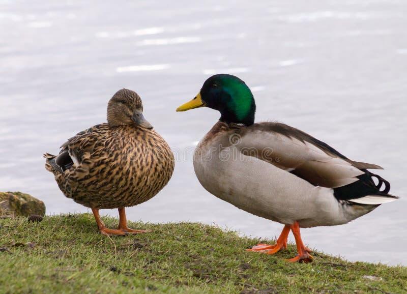 Stockente Duck Couple stockbilder