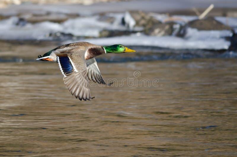 Stockente Duck Flying Over der gefrorene Winter-Fluss lizenzfreie stockbilder