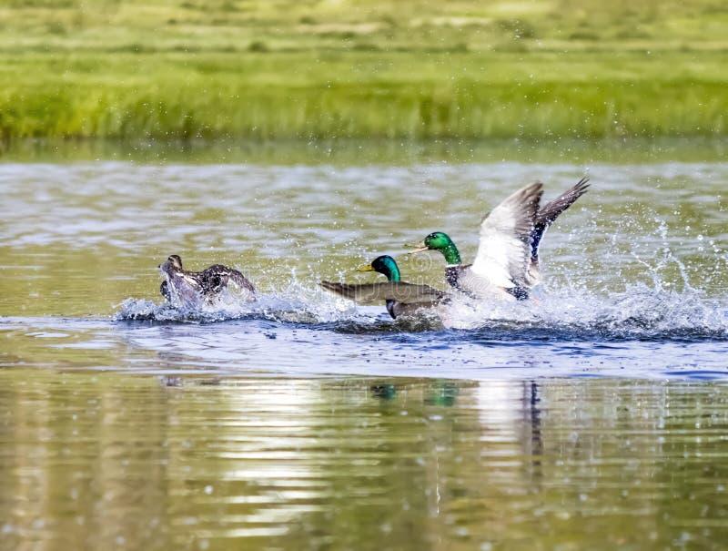 Stockente Duck Prepares For Attack stockfoto