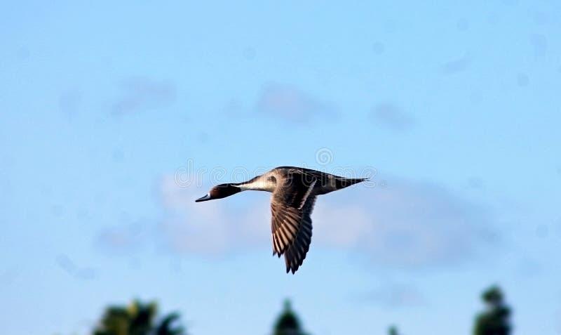 Stockente, Ente, die über den Himmel fliegt lizenzfreie stockfotografie