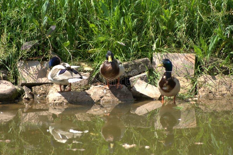 Stockente mit drei m?nnliche Enten, gemeine Ente, Anekdoten platyrhynchos, ihre Umgebungen beobachtend und warmes Sonnenlicht gen lizenzfreie stockfotografie