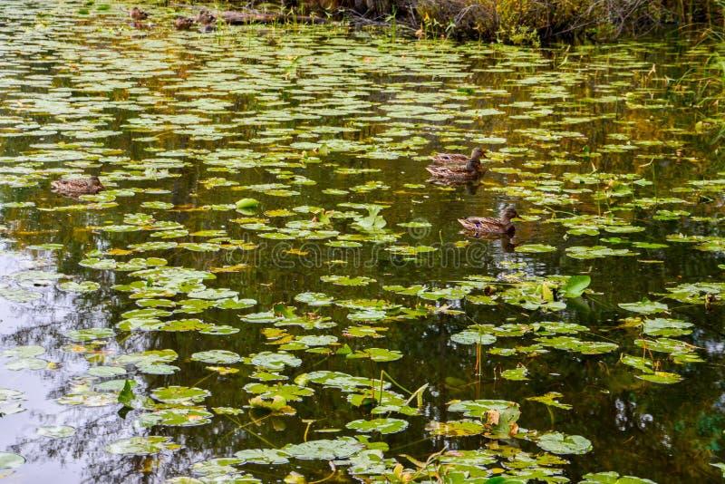 Stockenten auf einem See lizenzfreie stockfotos