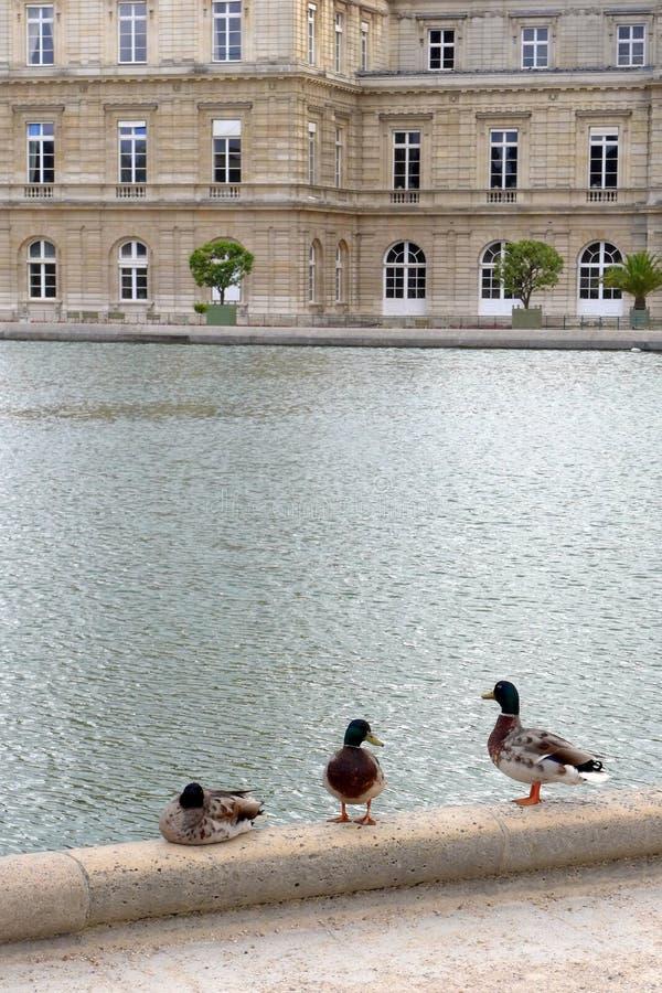 Stockenten durch Teich, Jardin DU Luxemburg lizenzfreie stockfotos