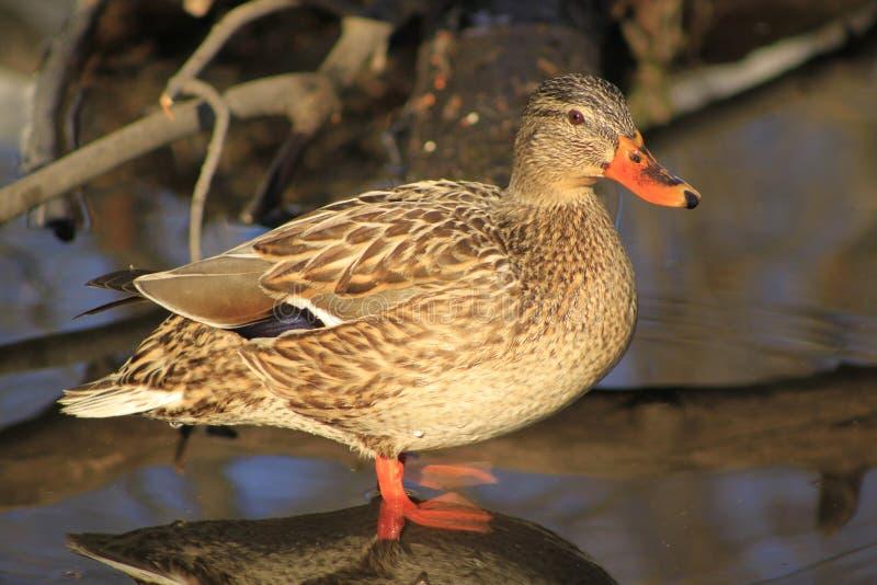 Stockenten-Ente lizenzfreies stockfoto