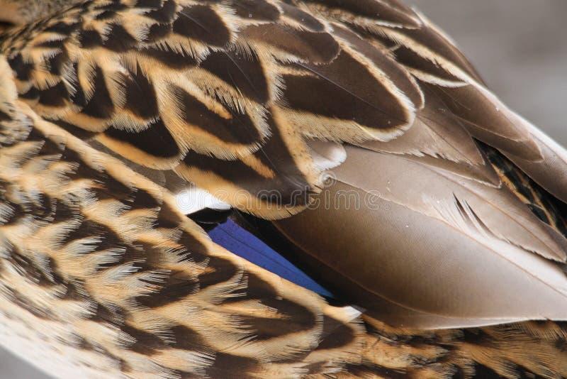 Stockenten-Enten-Flügel-Feder-Detail lizenzfreie stockfotos