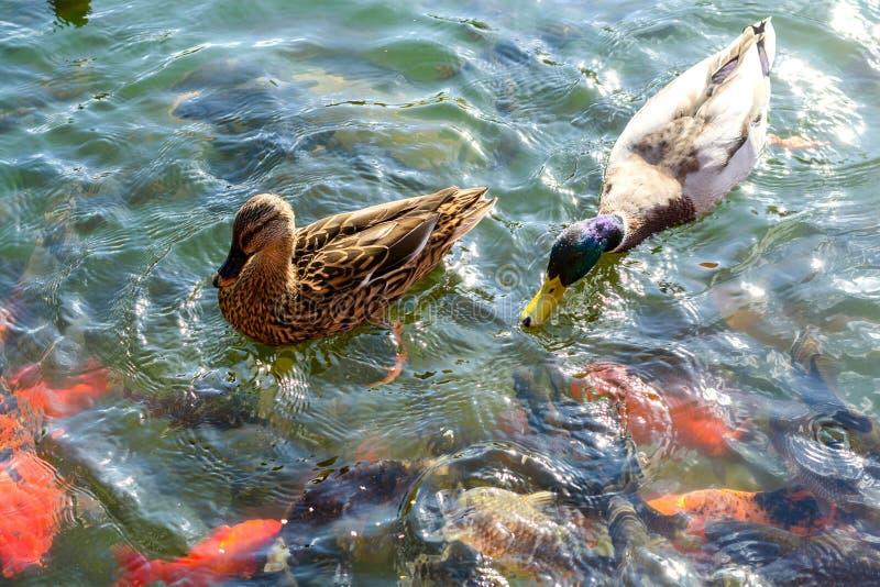 Stockenten und coi Karpfen schwimmen im Wasser in einem Fluss oder in einem Teich lizenzfreie stockfotos
