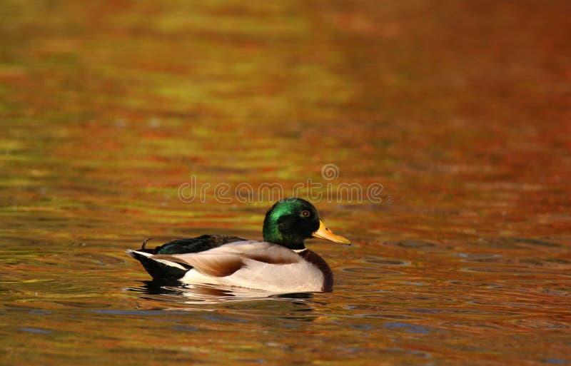 Stockenteschwimmen auf orange Wasser im Fall an der Dämmerung