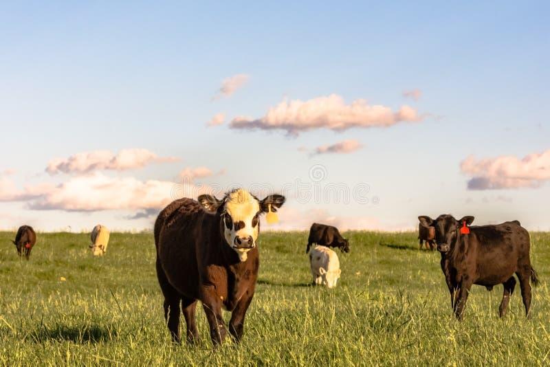 Stocker cattle in rye grass pasture - horizontal. Angus crossbred stocker cattle in a lush rye grass pasture at sunset in horizontal format royalty free stock photo