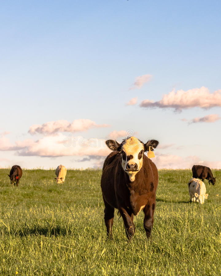 Stocker cattle in rye grass pasture - vertical. Angus crossbred stocker cattle in a lush rye grass pasture at sunset in vertical format royalty free stock images