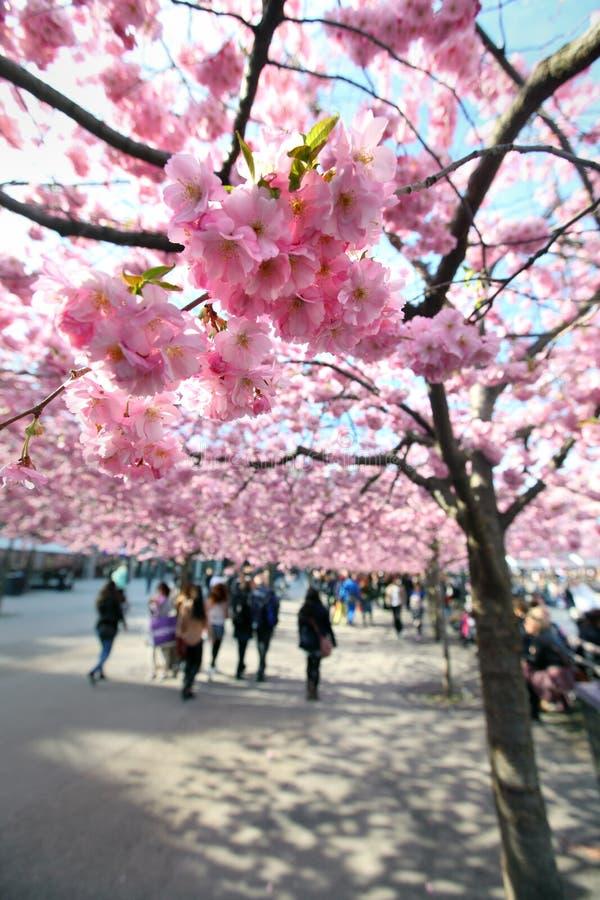 stockholm czereśniowi drzewa fotografia royalty free