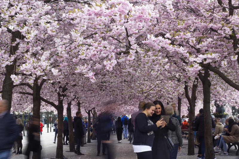 Stockholm / Sweden - May 2 2018: Cherry blossom trees in Stockholm. Stockholm / Sweden - May 2 2018: Cherry blossom trees in Kungstradgarden - `King`s garden` royalty free stock photos