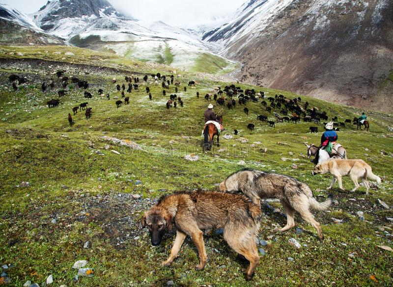 Stockriders with dogs and flock in alay mountains stock photos