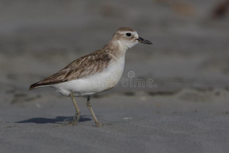 New Zealand Dotterel. This stocky dotterel or plover is endemic to New Zealand and can be found on sandy beaches around the north island stock photo