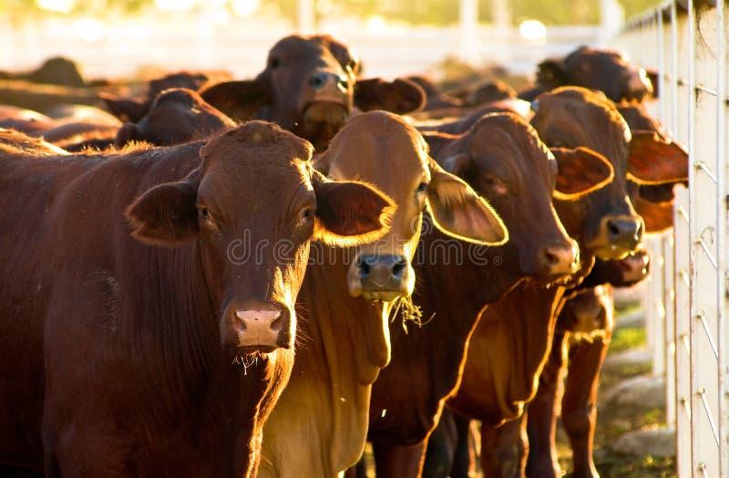 stocznie bydła obrazy royalty free