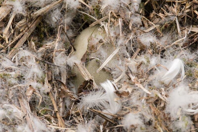 Stod olorei van zwaancygnus in nest royalty-vrije stock fotografie