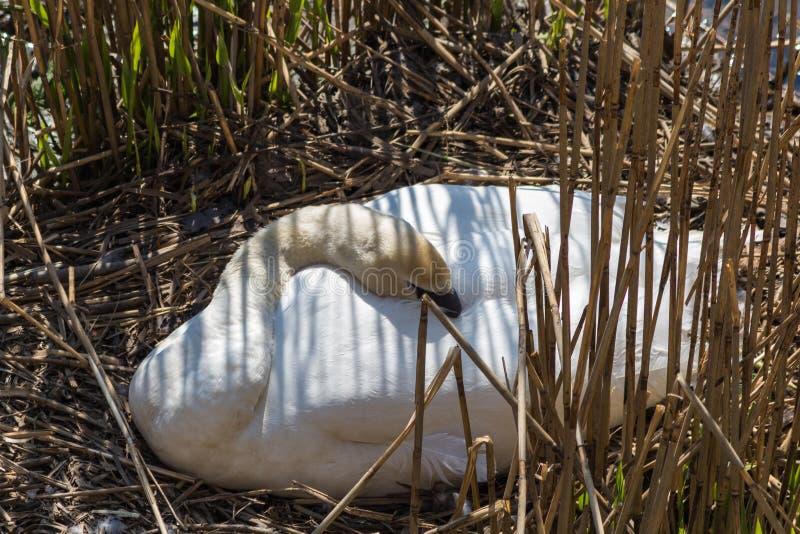 Stodde witte zwaan die haar eieren kweken tijdens de lente stock foto's
