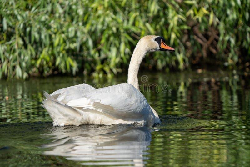 Stodde Zwaan in de Delta van Donau royalty-vrije stock foto's